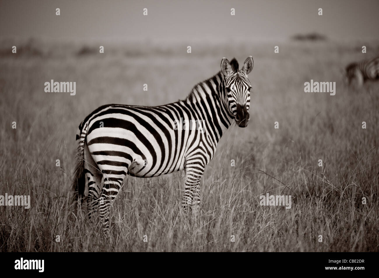 Zebra, Kenya África Imagen De Stock