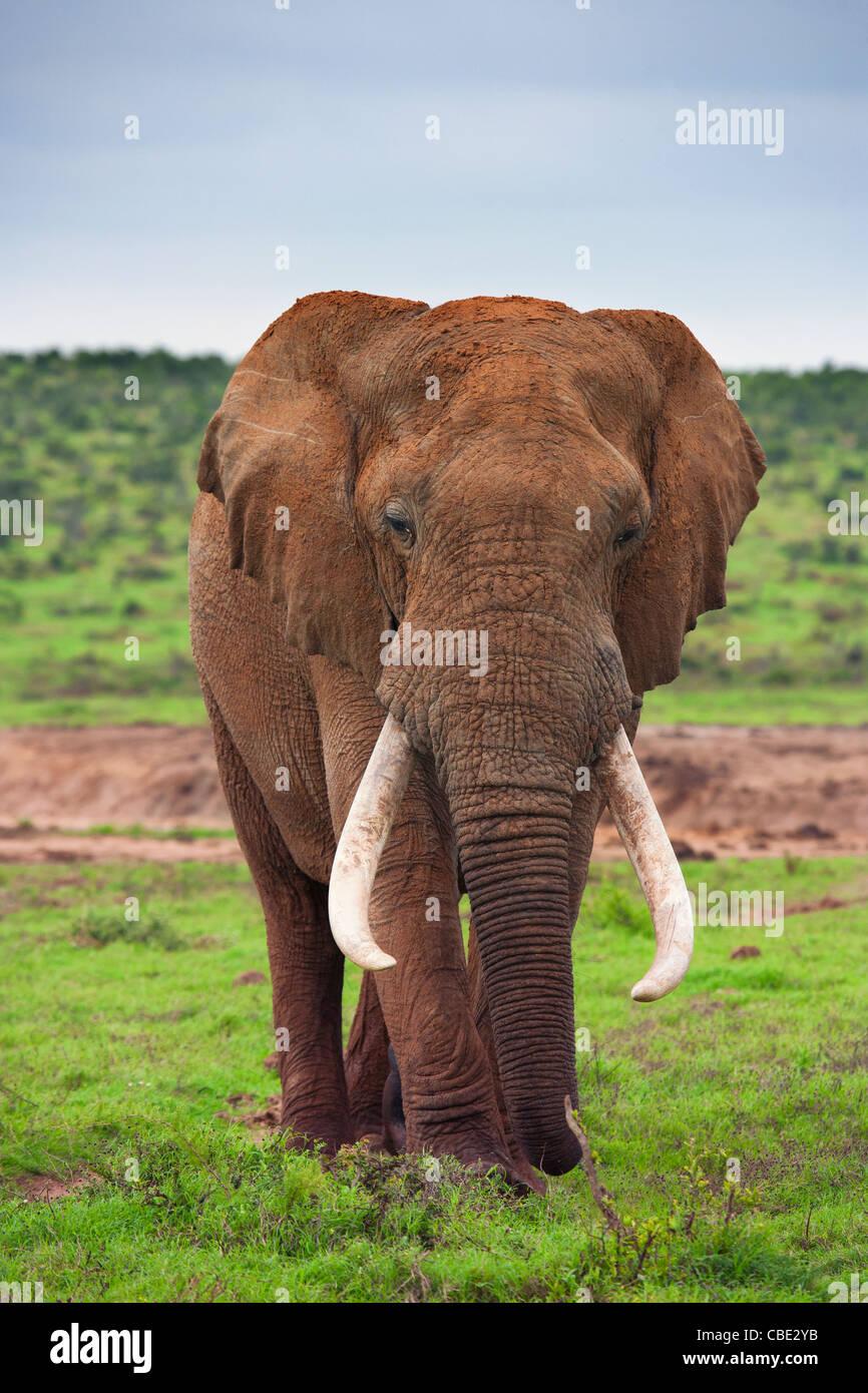 Un gran toro de elefantes (Loxodonta Africana) capturados en Hapoor Dam en el Addo Elephant National Park en Sudáfrica. Imagen De Stock
