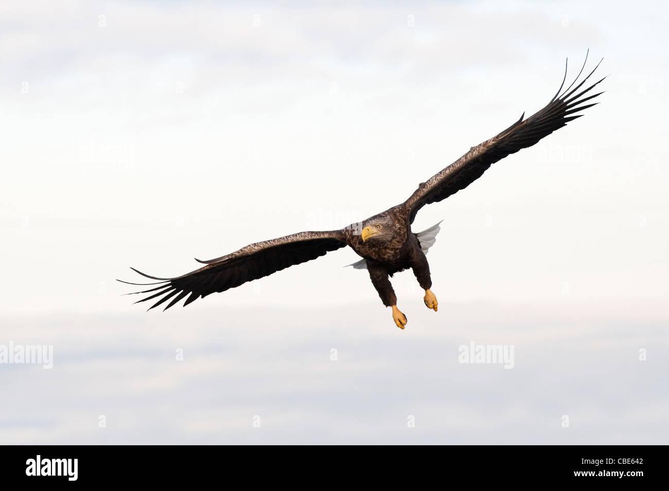 El águila de cola blanca (Hailaeetus albicilla), el norte de Europa Foto de stock