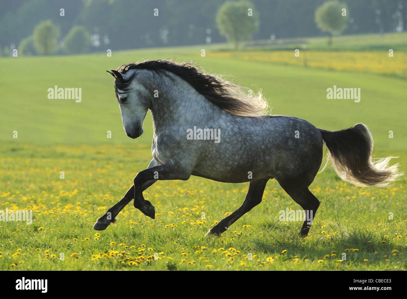 Caballo Andaluz (Equus ferus caballus). Manchan castrado gris en un galope en una pradera. Imagen De Stock