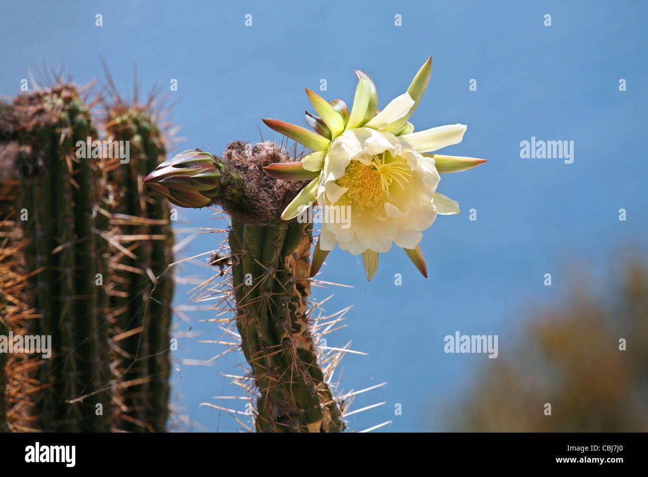Cactus florece en la Isla del Sol en el Lago Titicaca, Bolivia Imagen De Stock