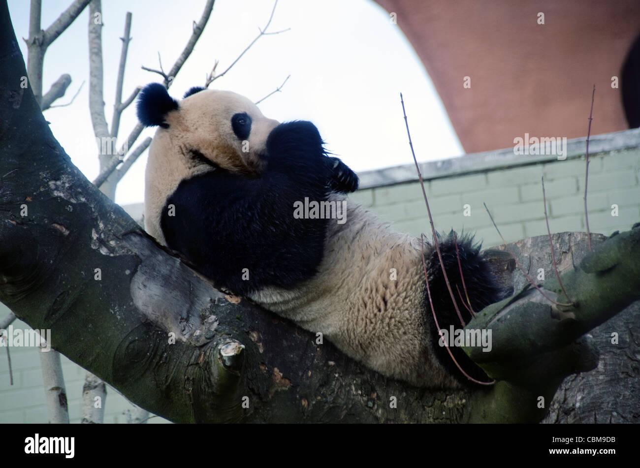 Oso Panda gigante masculino Yang Guang en el Zoo de Edimburgo, una semana después de su llegada desde China Imagen De Stock