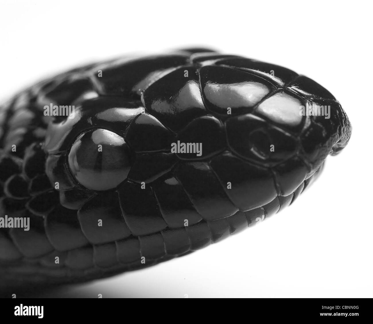Cabeza negra juvenil python Imagen De Stock