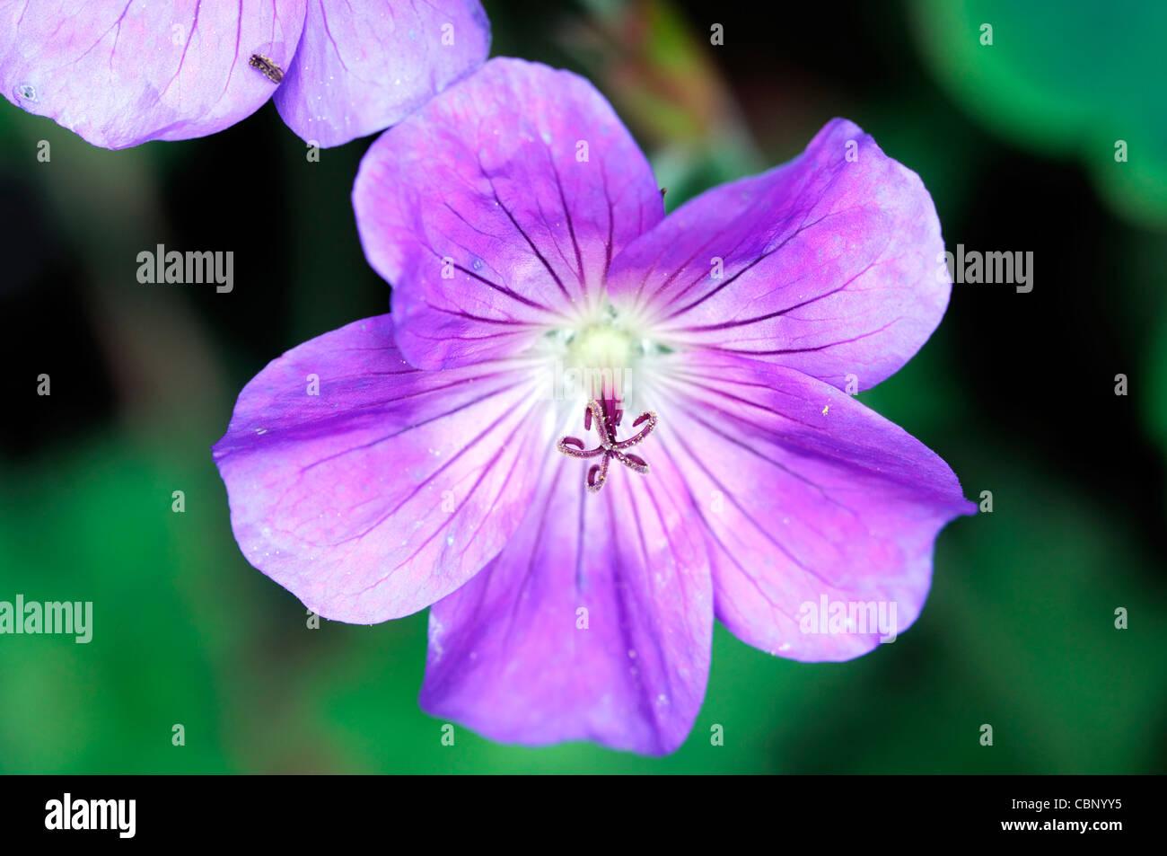 Rozanne cranesbill geranium jolly abeja flores flores flores perennes azul púrpura closeup cerrar Imagen De Stock