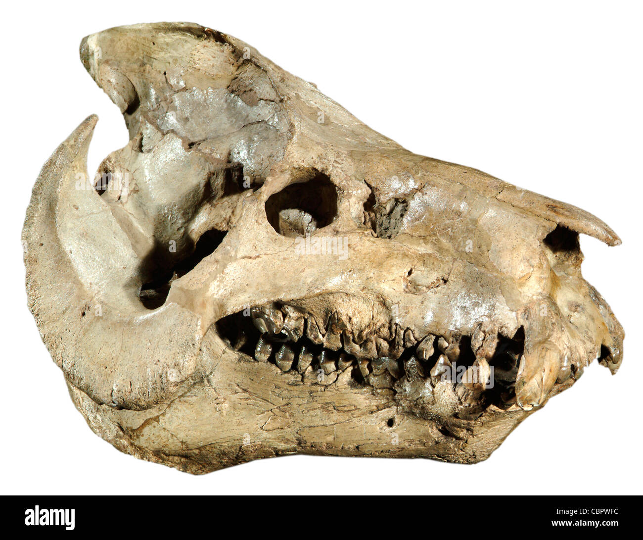 - Promerycochoerus Oreodont carrikeri o posiblemente Merycochoerus carrikeri, Monroe Creek, Souix Co., Nebraska, Mioceno Temprano. Foto de stock