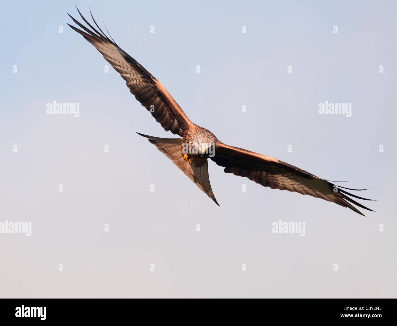Red Kite Milvus milvus Foto de stock