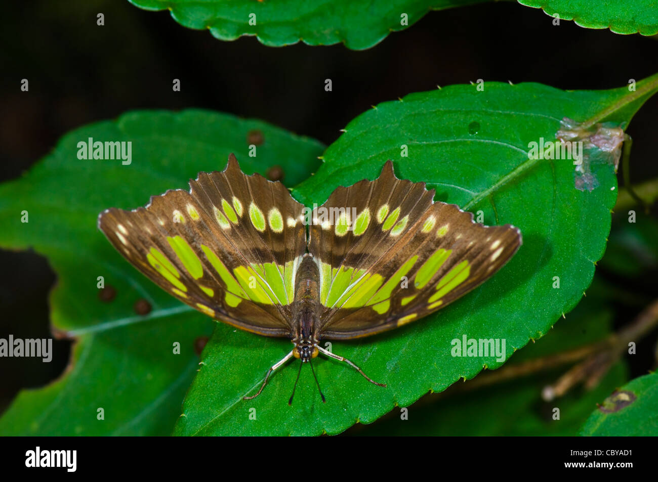 Malaquita Siproeta stelenes (mariposas), Manuel Antonio, Costa Rica Foto de stock