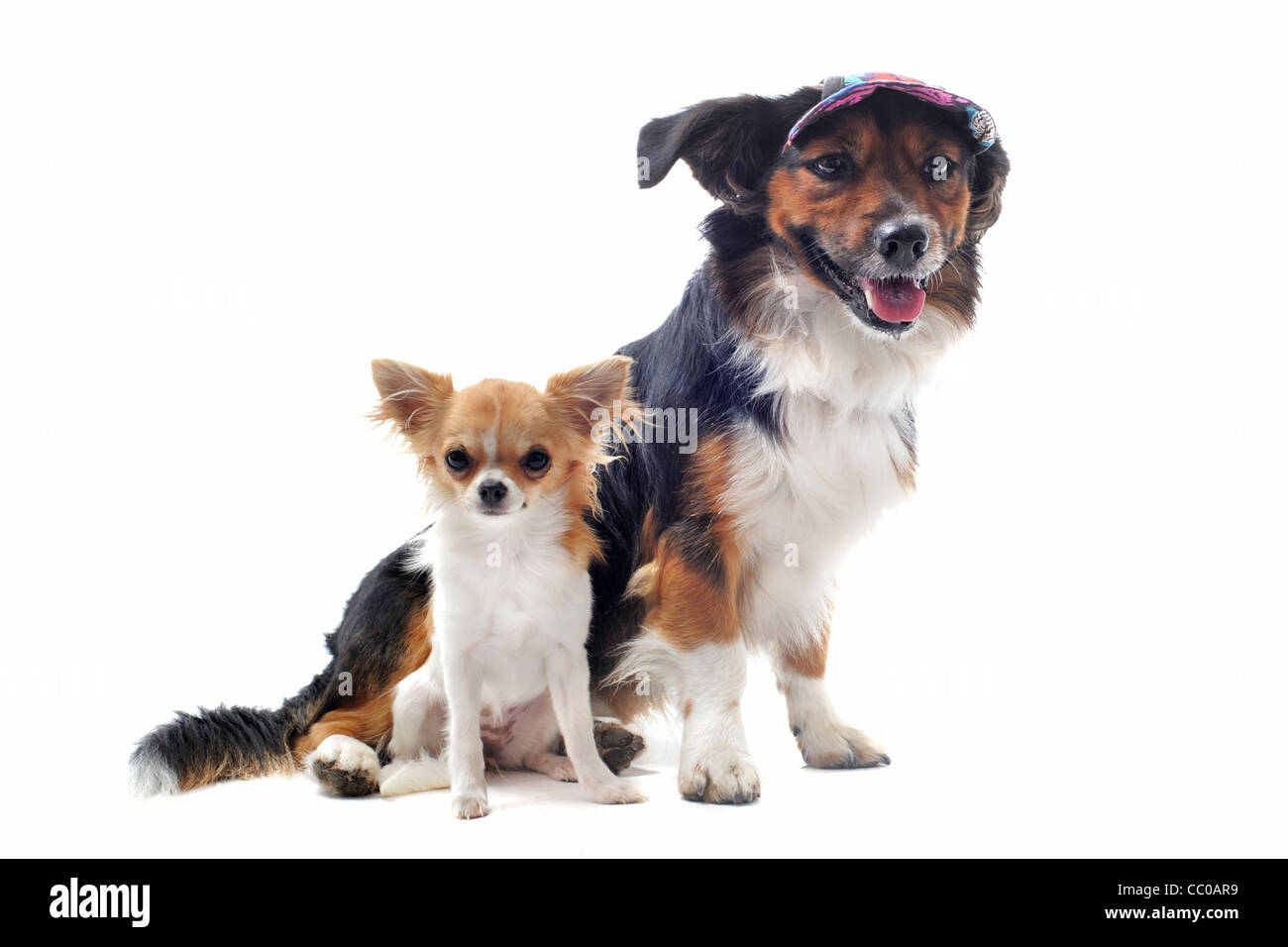 Retrato de un lindo cachorro de raza chihuahua y Pembroke Welsh Corgi delante de un fondo blanco Foto de stock