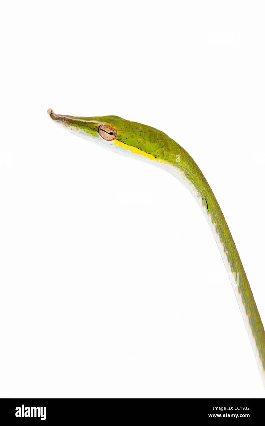 Ahaetulla nasuta . Menores serpiente vid verde sobre fondo blanco. Foto de stock