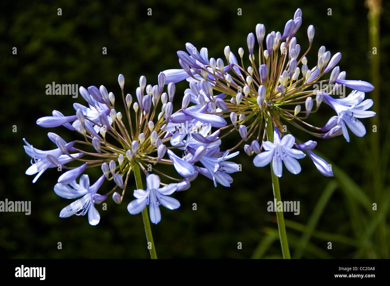 Agapanthus Delft - Flor de Lis africanos cercha Foto de stock