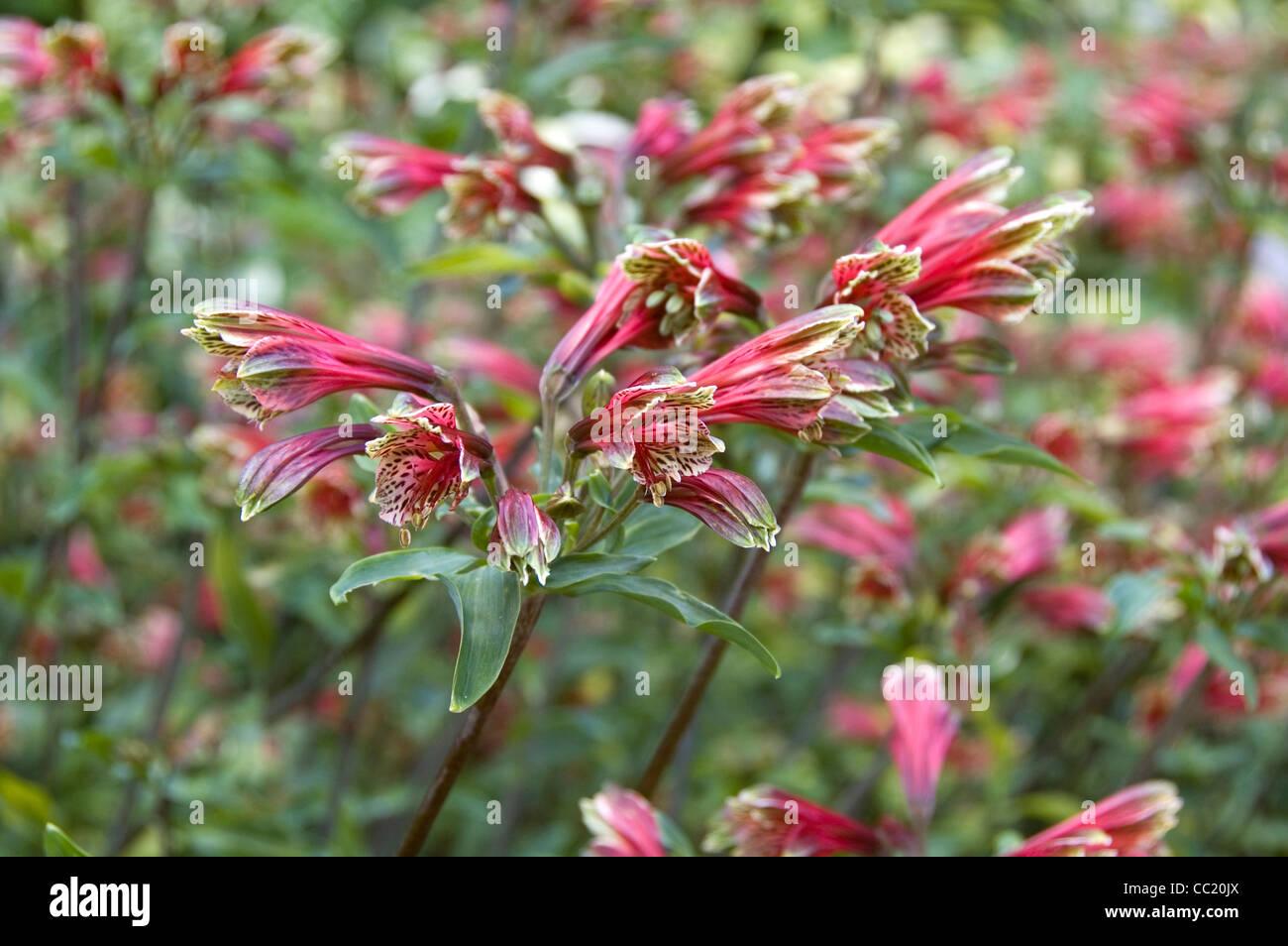 Alstroemeria psittacina - Alstroemeria pulchella. El lirio peruano Foto de stock