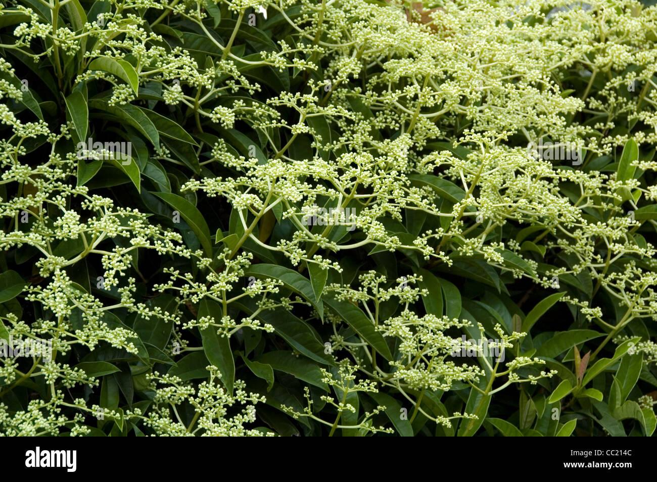 Pileostegia viburnumoides - Schizophragma - Escalada arbusto siempreverde. Foto de stock