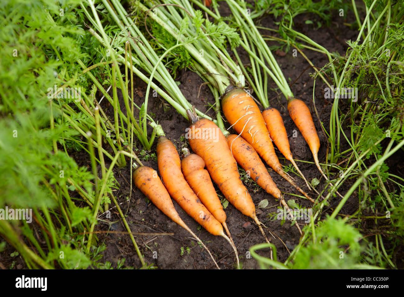 Las Zanahorias Cultivadas Organicamente Nombre Cientifico Daucus Sativus Fotografia De Stock Alamy Crece con en el lenguaje español solo tiene el nombre de zanahoria. https www alamy es foto las zanahorias cultivadas organicamente nombre cientifico daucus sativus 41866406 html
