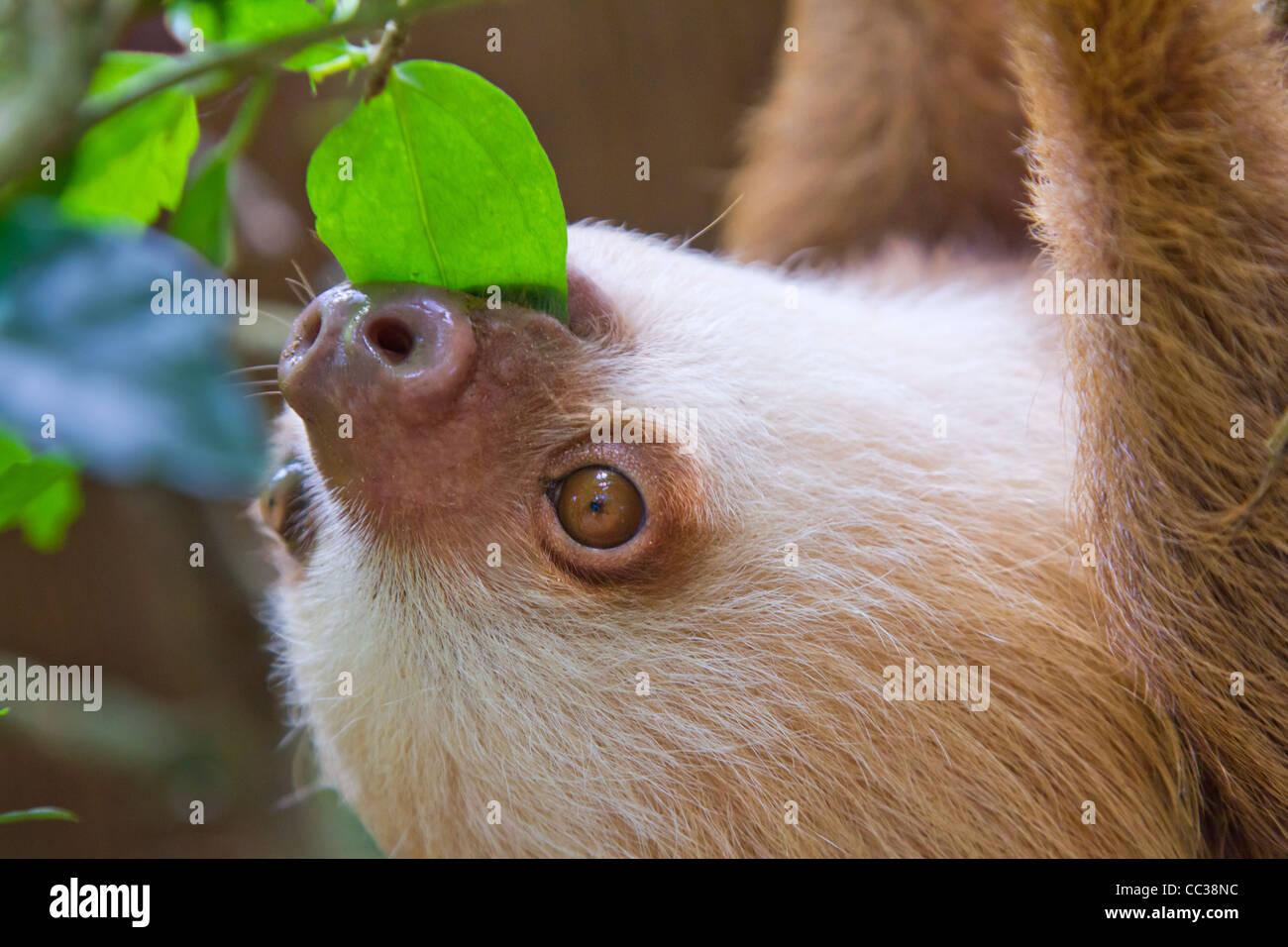 Un joven de Hoffmann, dos dedos cada (Choloepus hoffmanni perezosos) comiendo hojas. Foto de stock