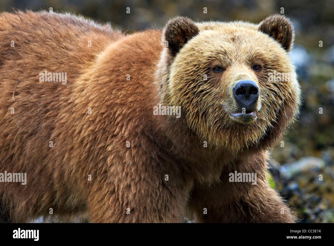 Hembra Grizzly Bear costera buscando alimento con marea baja en el territorio continental de Columbia Británica, Imagen De Stock