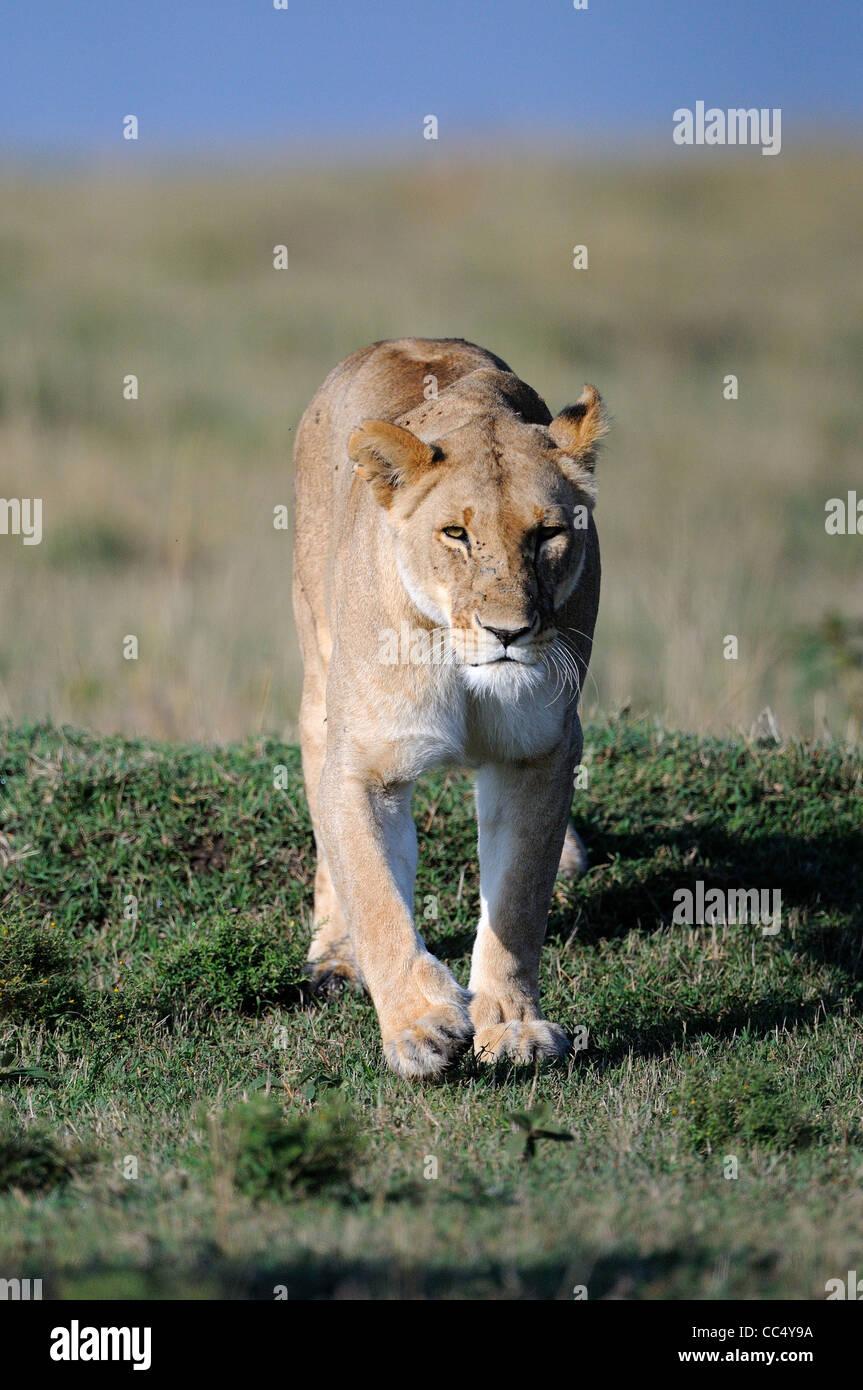 León (Panthera leo) hembra lavica caminar Masai Mara, Kenya Imagen De Stock