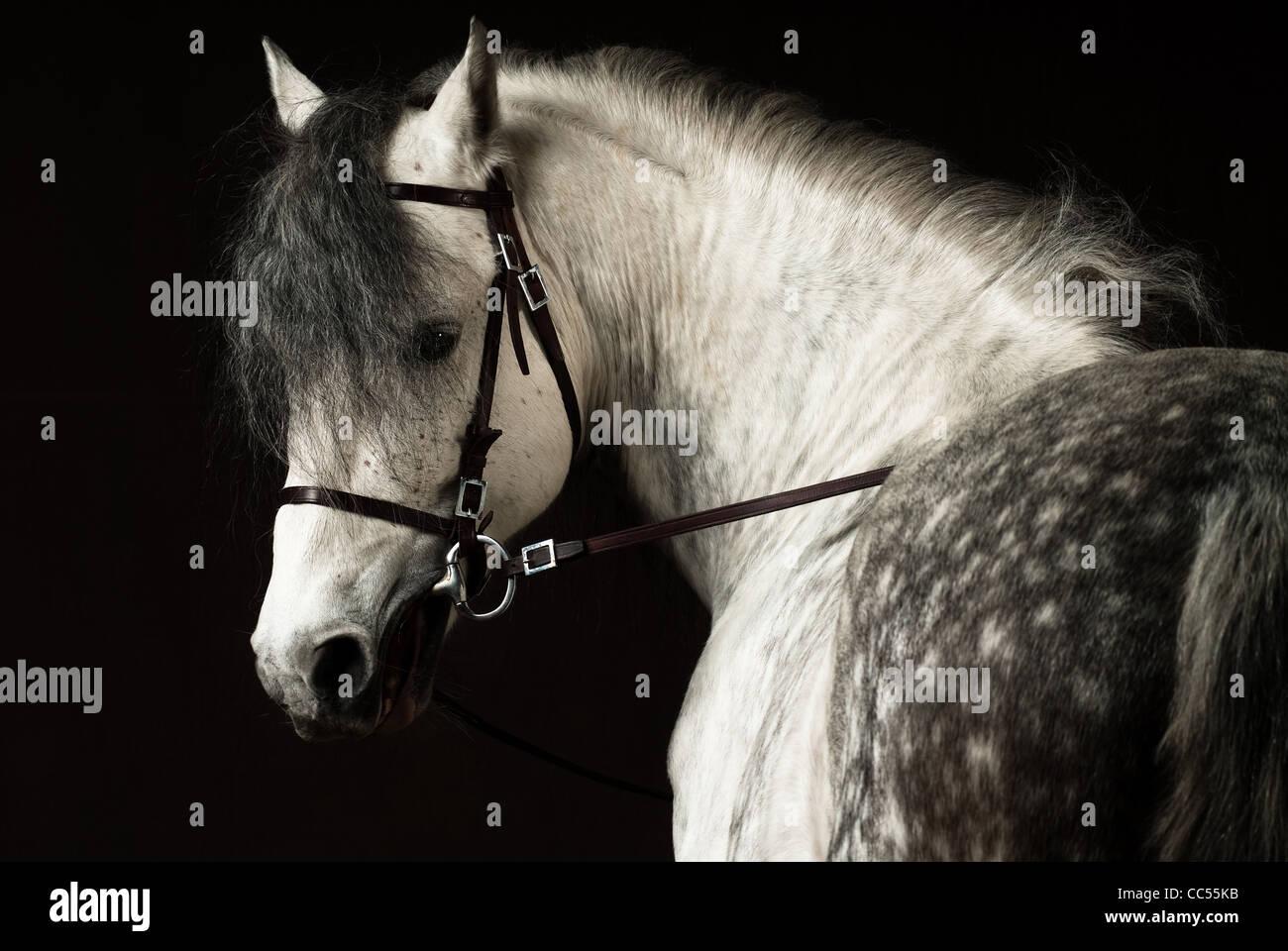 Caballo Andaluz, retrato, Polonia Imagen De Stock
