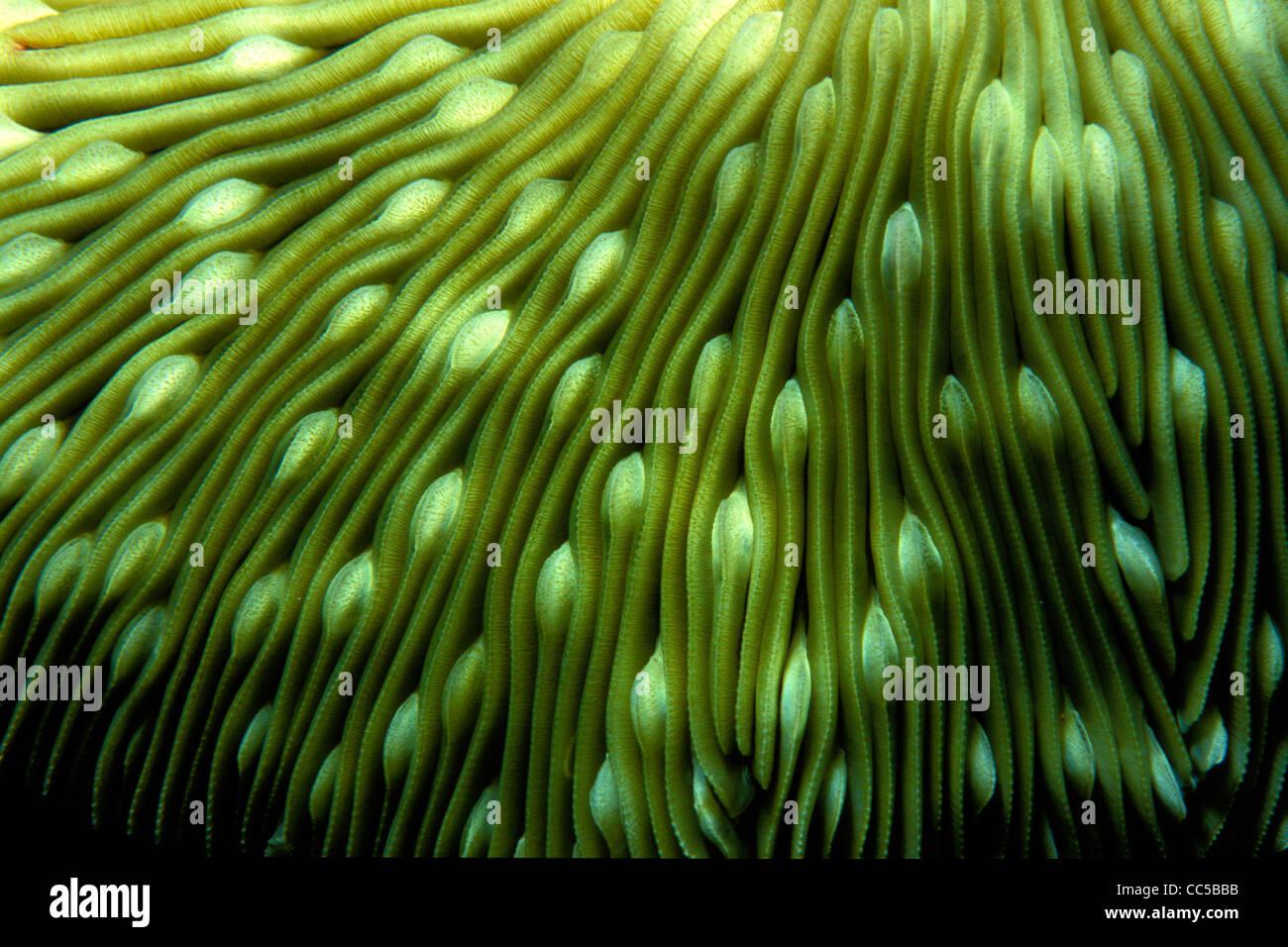 Seta, coral Fungia sp., detalle, Fiji, Océano Pacífico Imagen De Stock