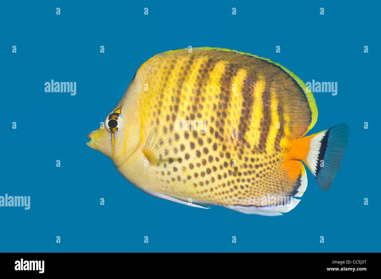 Spot-banded butterflyfish (Chaetodon punctatofasciatus) Imagen De Stock