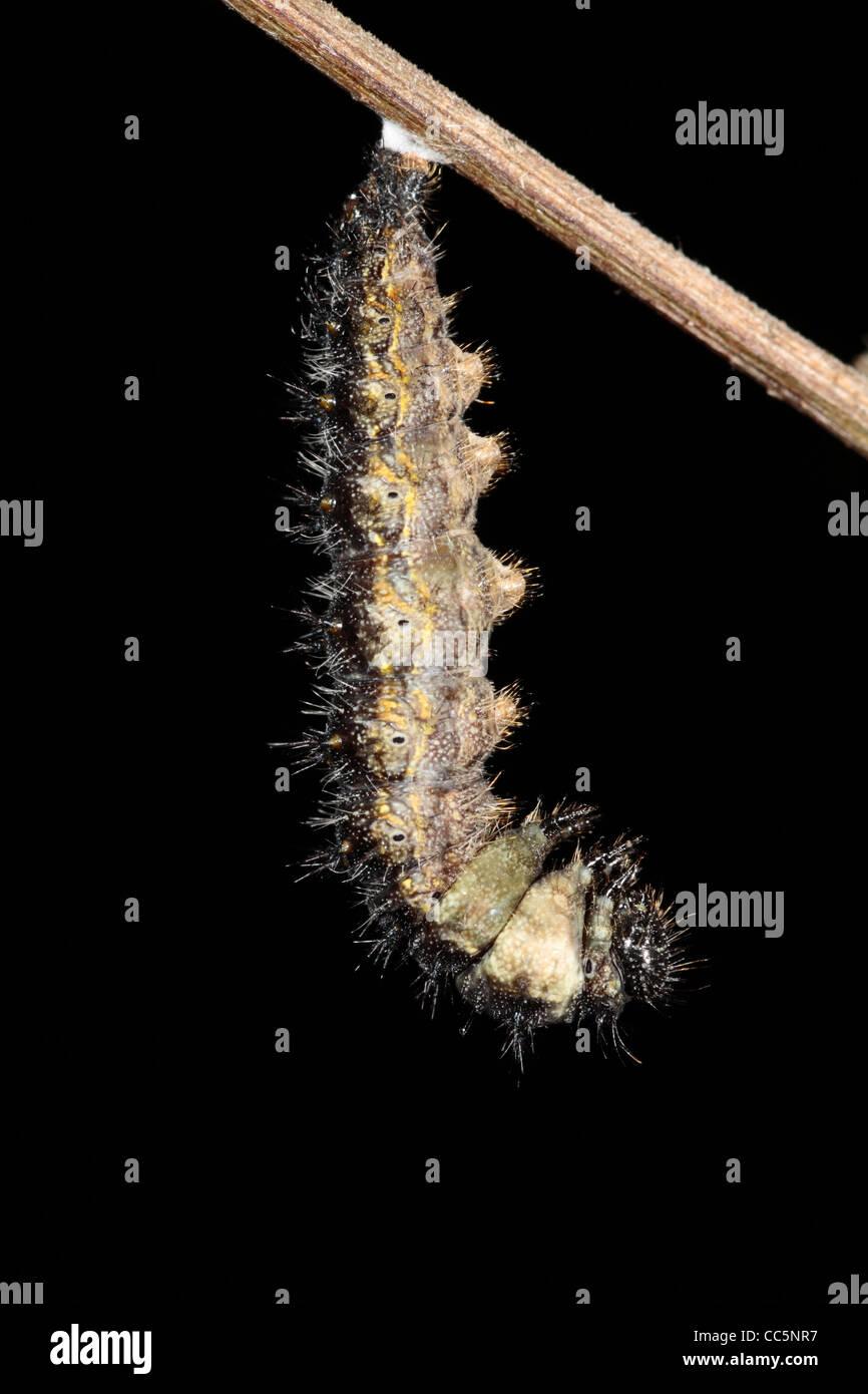 Metamorfosis de un pequeño Tortoiseshell butterfly (Aglais urticae) larva en una pupa. 1 de 7. Foto de stock