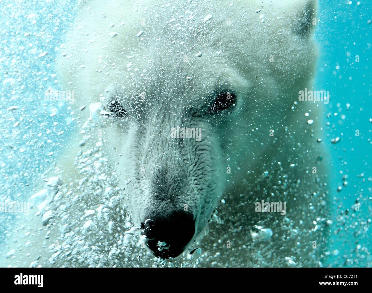 Close-up de oso polar (Ursus maritimus) nadando bajo el agua y soplando burbujas de aire Imagen De Stock