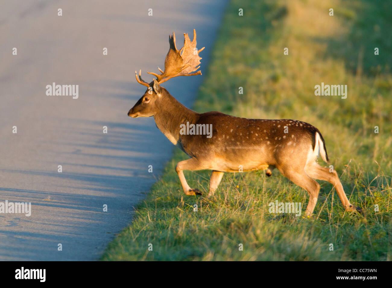 El gamo (Dama dama), Buck Crossing Road, Royal Deer Park, Klampenborg, Copenhague, Sjaelland, Dinamarca Foto de stock