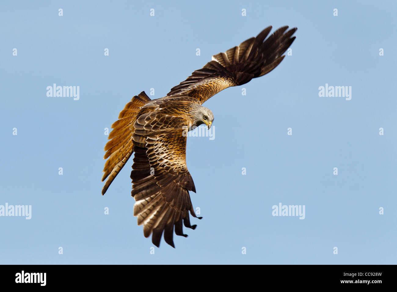 Milanos (milvus) en vuelo contra el cielo azul claro Foto de stock