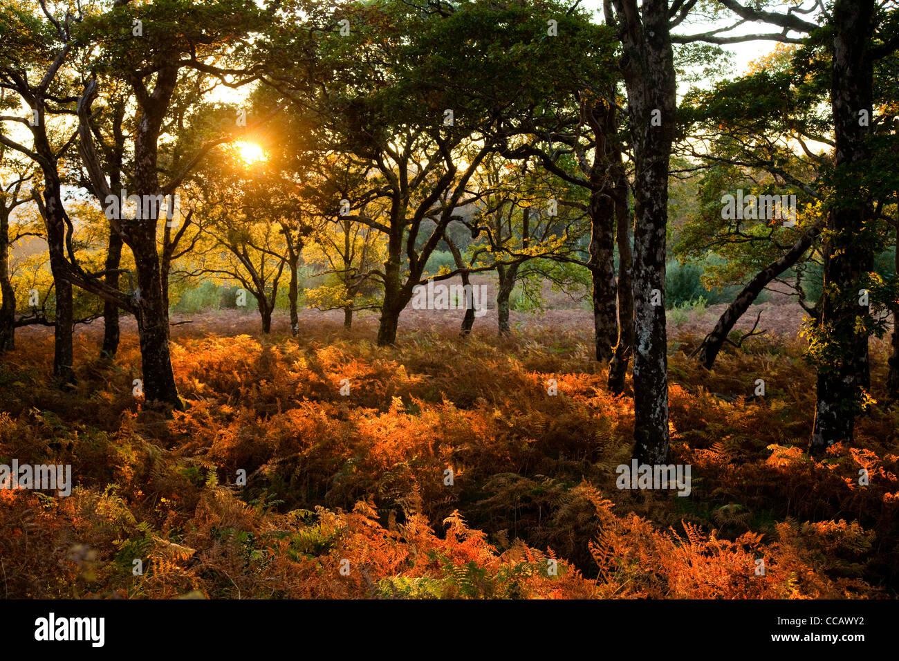 Luz del atardecer de otoño de la madera de roble, Erriff Woods, en el condado de Mayo, Irlanda. Imagen De Stock