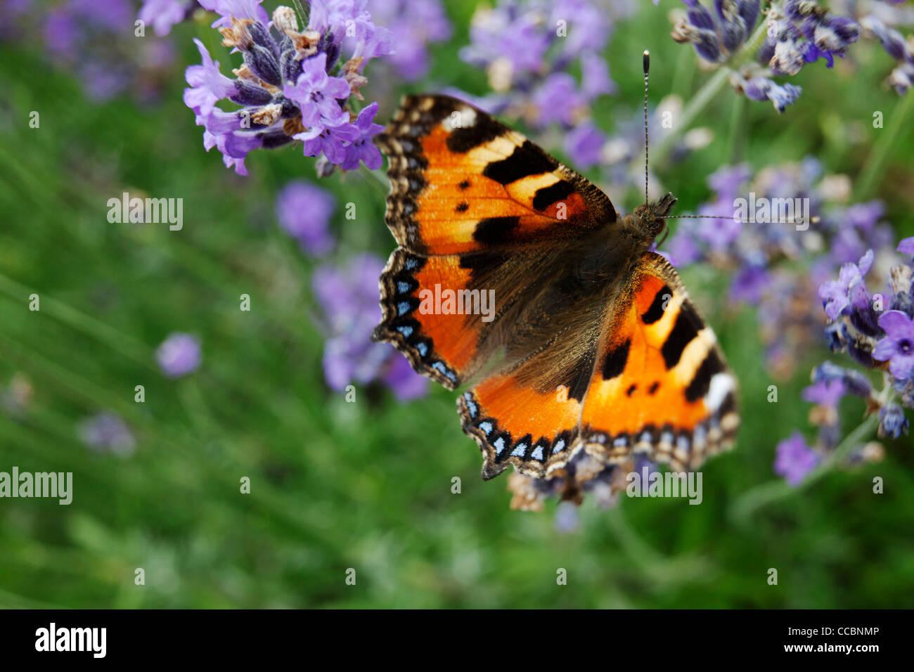 Small Tortoiseshell butterfly (Aglais urticae) de lavanda Foto de stock