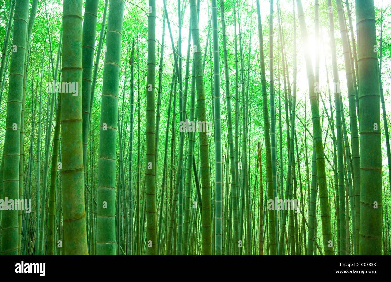 Verde bosque de bambú con luz solar Foto de stock