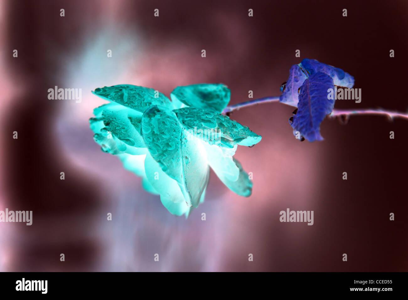 Stilleben,Rosa,Blume,digital,blau,rosa,lila,grün,Beleuchtung,Tau,Regen,positiv,negativ,Tautropfen,Regentropfen,Kunst,arte,Blume Imagen De Stock