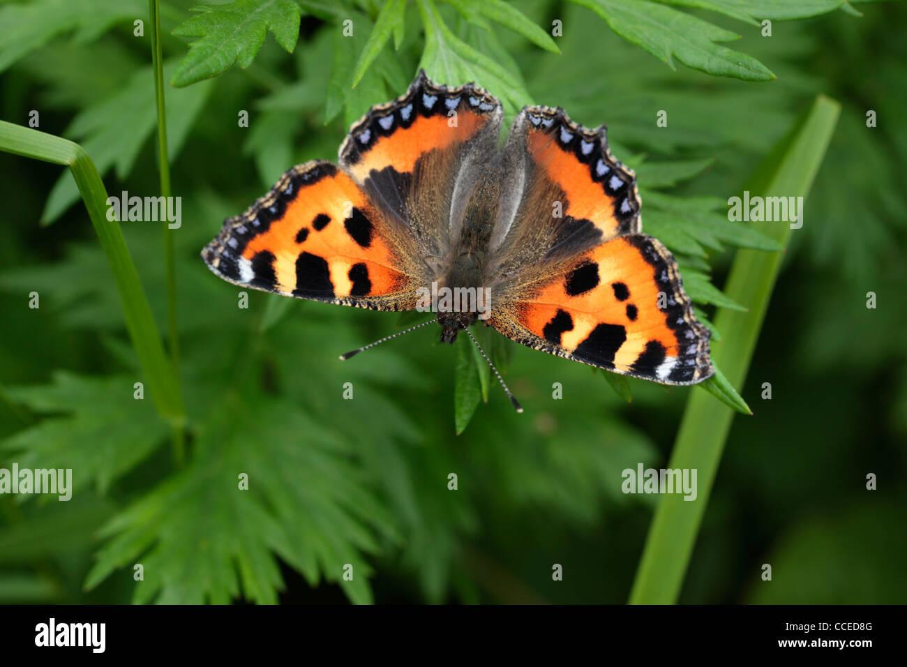 Una colorida mariposa una pequeña llamada Tortoiseshell (aglais urticae) en primavera Foto de stock