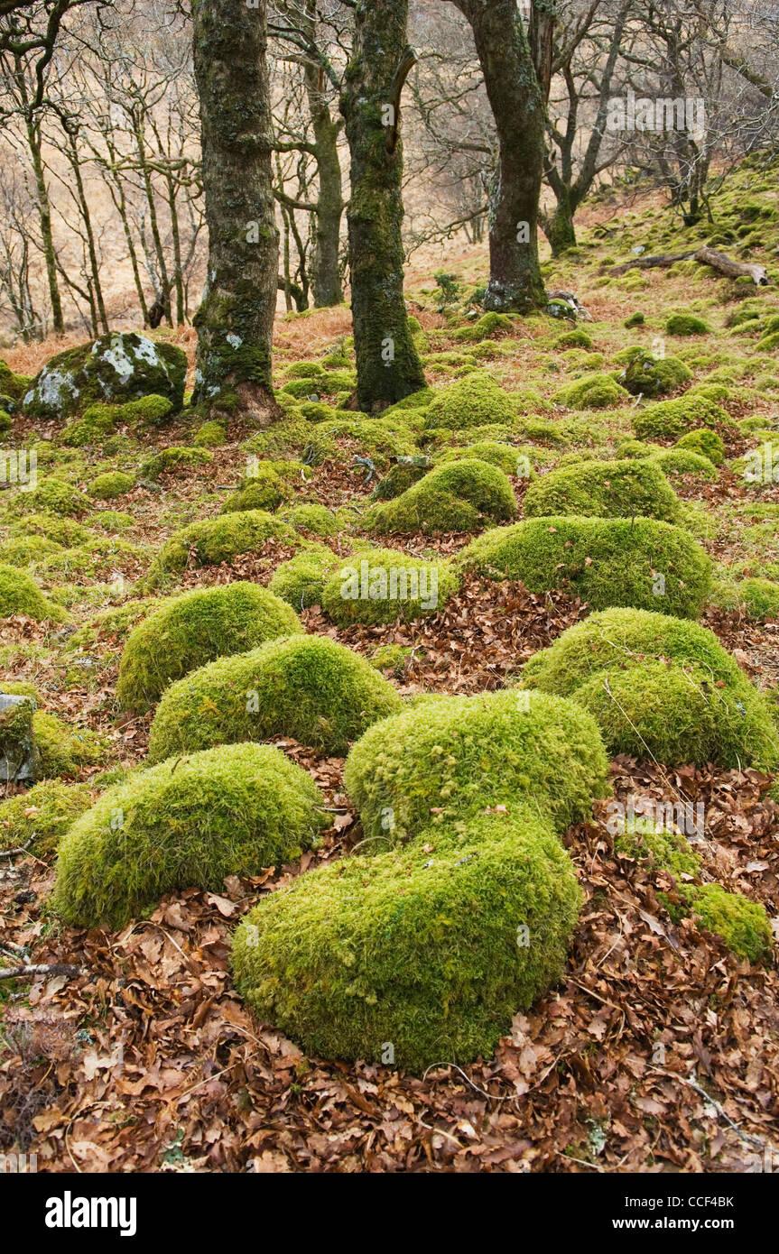 Rocas cubiertos de musgo en los bosques cerca de Peanmeanach bothy, Lochailort, Lochaber, Escocia. Foto de stock