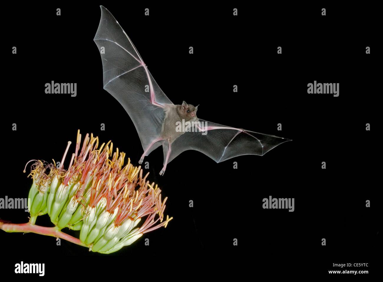 Menor de hocico largo Murciélago Leptonycteris curasoae Amado, Arizona, Estados Unidos de América el 23 de agosto de adulto a Parry's flores de agave. Foto de stock