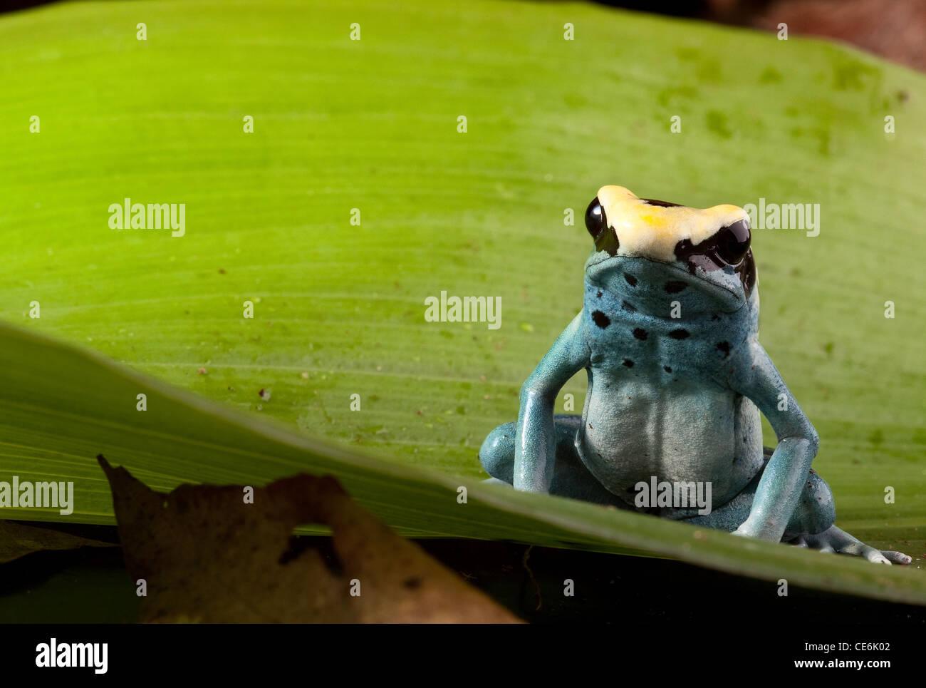 Rana Venenosa, Dendrobates tinctorius animal tropical de hoja verde Imagen De Stock
