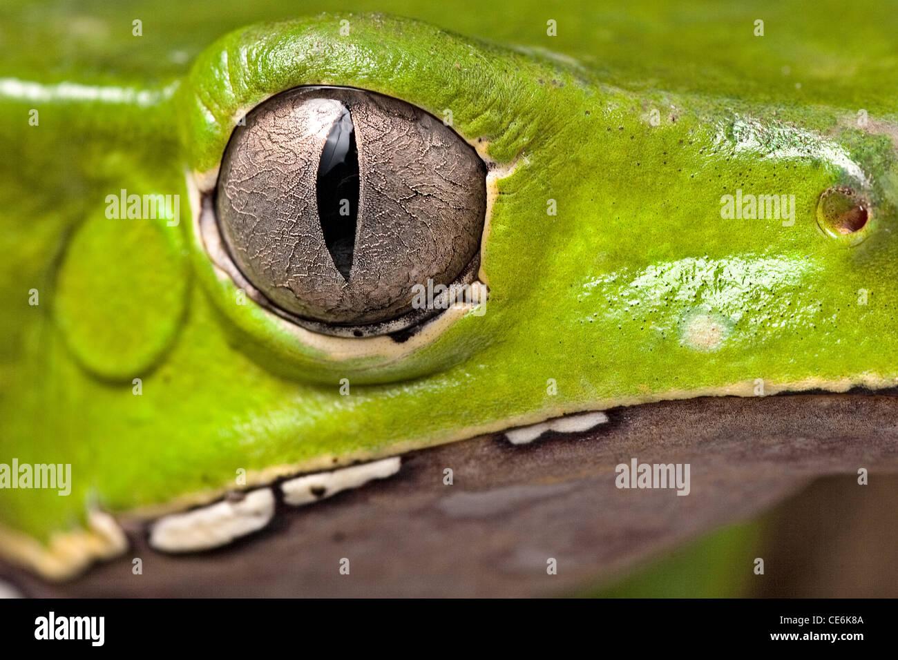 Detalle del ojo animal cabeza anfibios rana de árbol hermoso animal pupila vertical detalle de iris Phyllomedusa Imagen De Stock