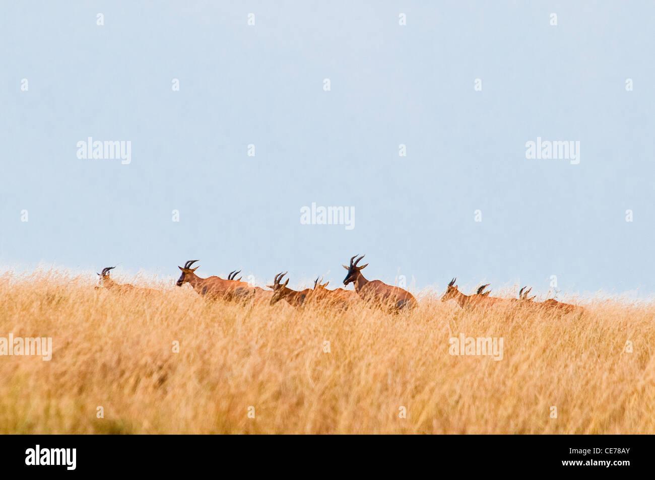 Manada de Topi en la llanura de la tribu de los Masai Mara, Kenya, Africa. Imagen De Stock