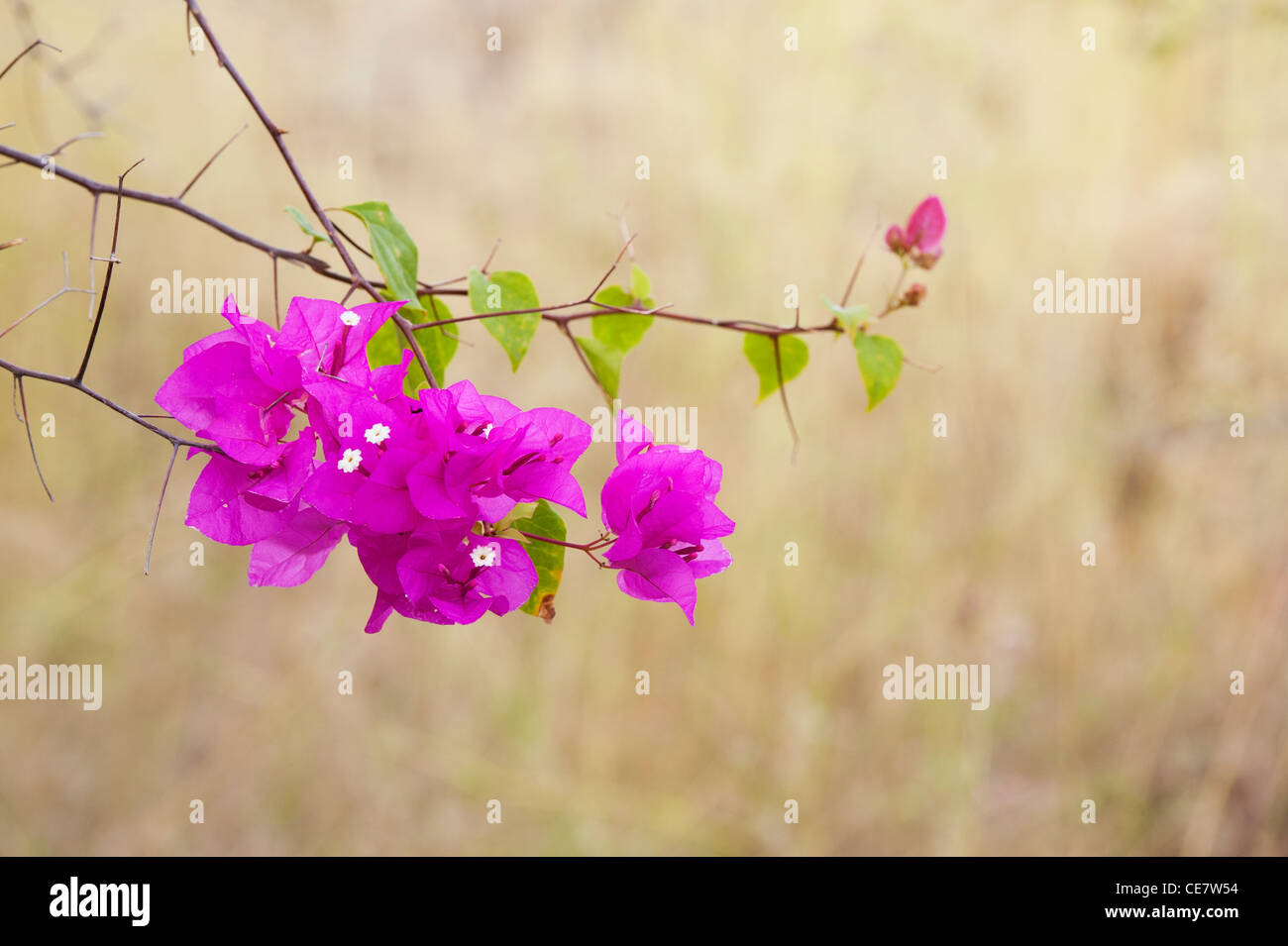 El Bougainvillea spectabilis. Gran bougainvillea pequeñas flores blancas y brácteas de color púrpura. La India Foto de stock