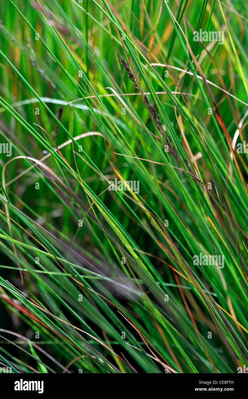 Molinia caerulea subsp caerulea edith dudszus verano closeup enfoque selectivo perennes gramíneas pasto ornamentales Foto de stock
