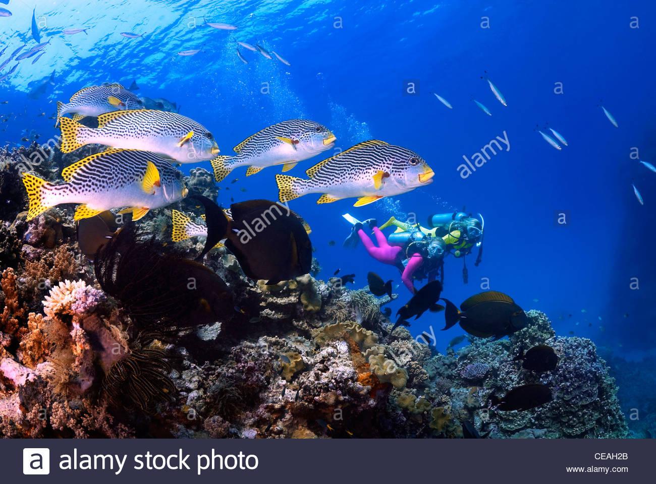 Bandas diagonales (Sweetlips Plectorhinchus lineatus), la Gran Barrera de Coral Imagen De Stock