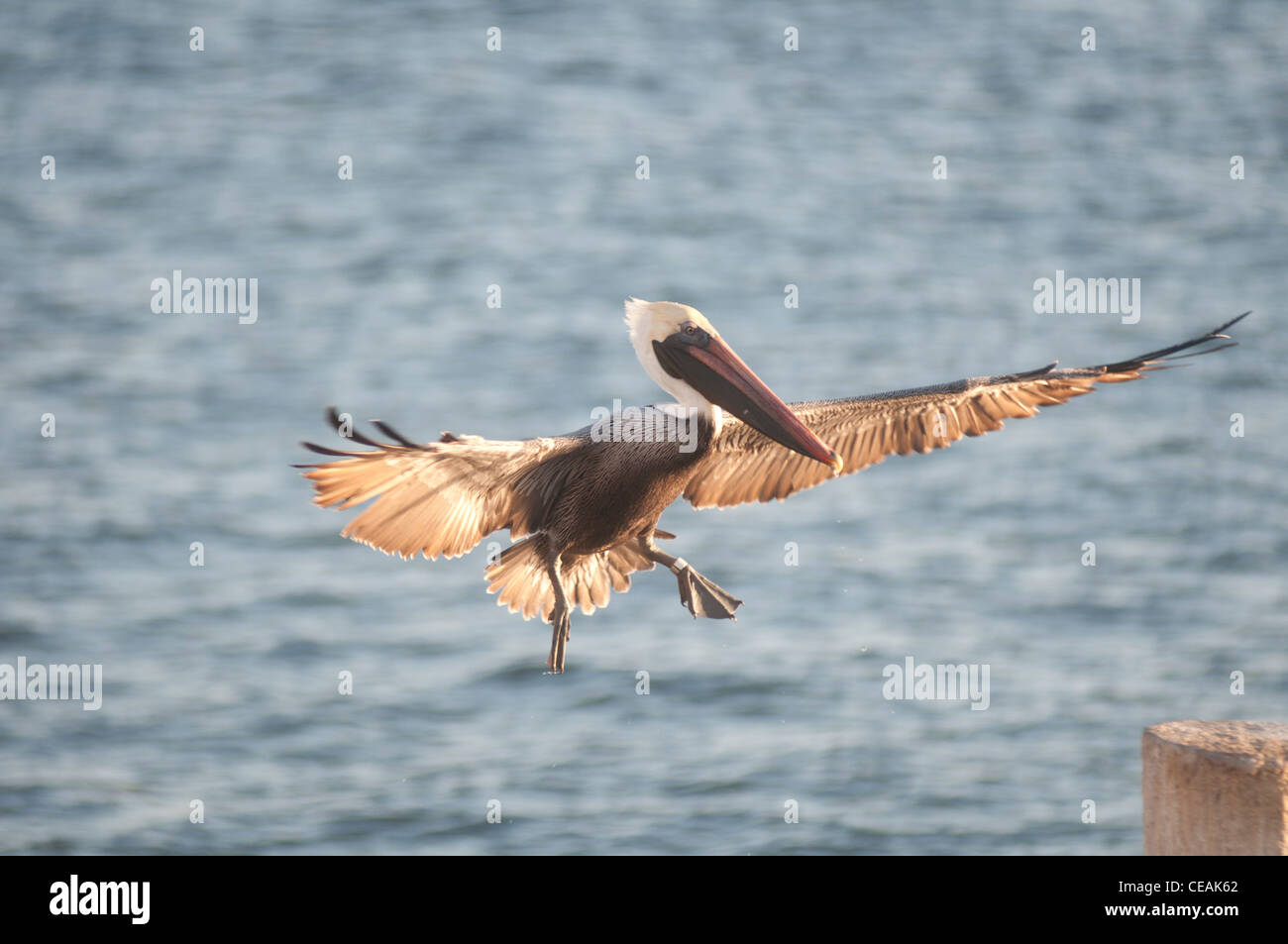 Pelicano café, Pelecanus occidentalis, volando, Florida, América del Norte, EE.UU. Imagen De Stock