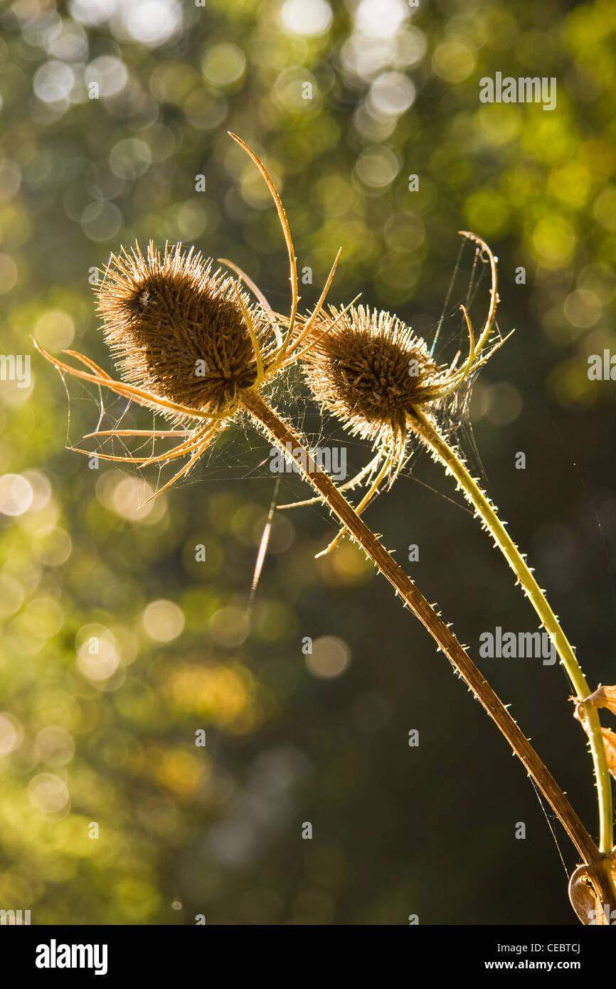 Cápsulas de semillas o dipsacus fullonum Teasel común en otoño de retroiluminación Imagen De Stock