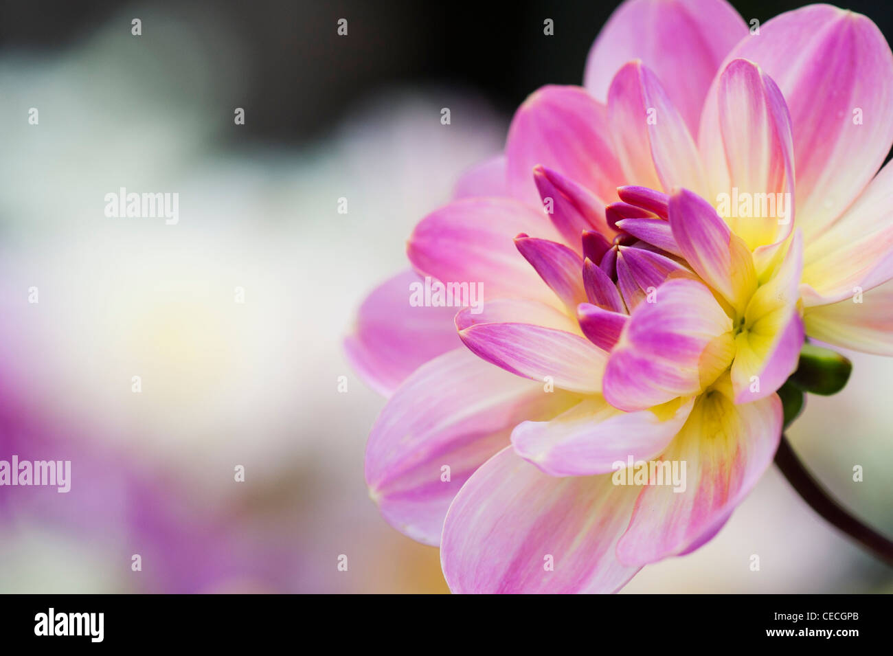 Dalia 'oriental' Flor de ensueño. Waterlily Dalia. Foto de stock