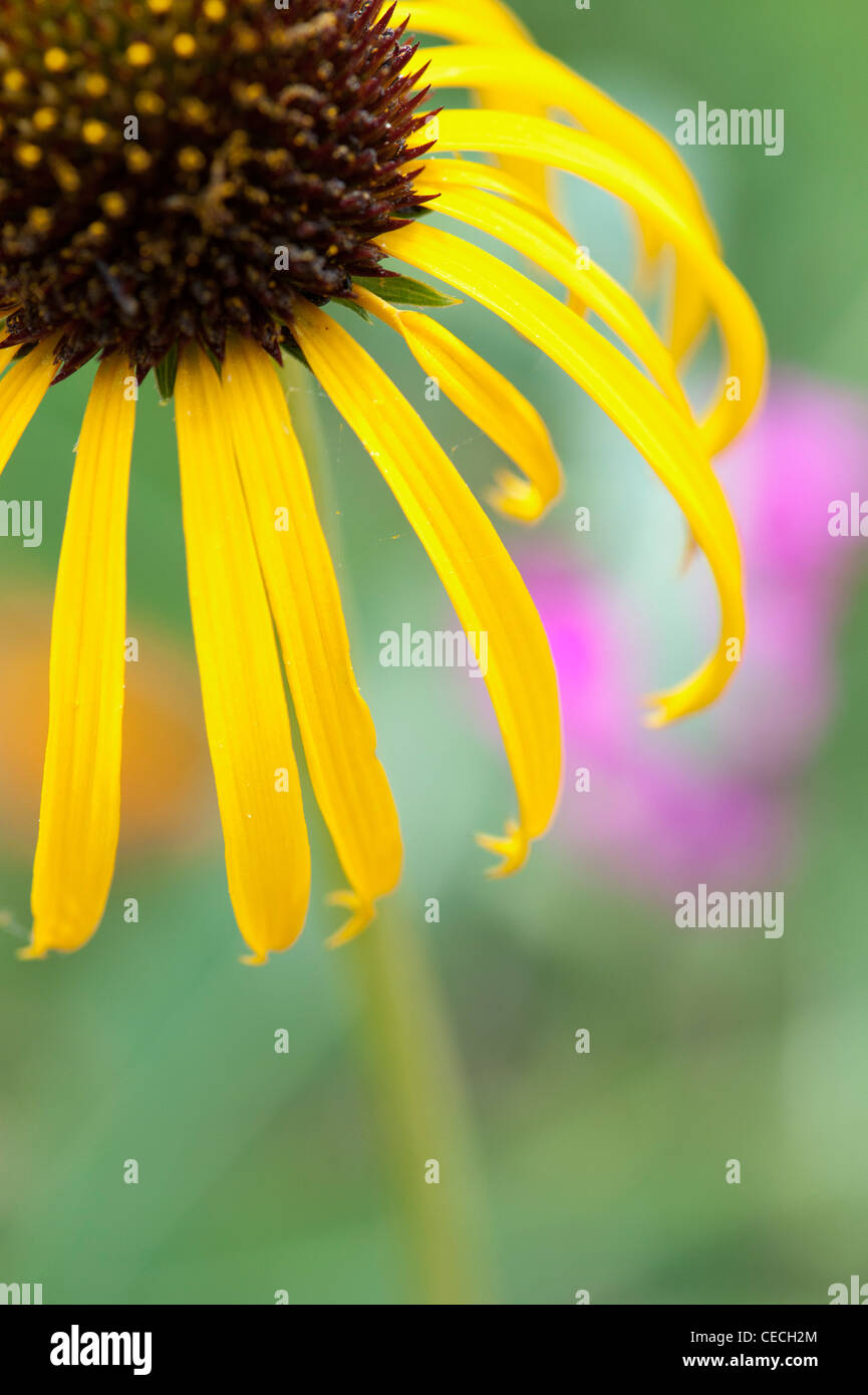 Echinacea paradoxa . Coneflower amarillo Imagen De Stock
