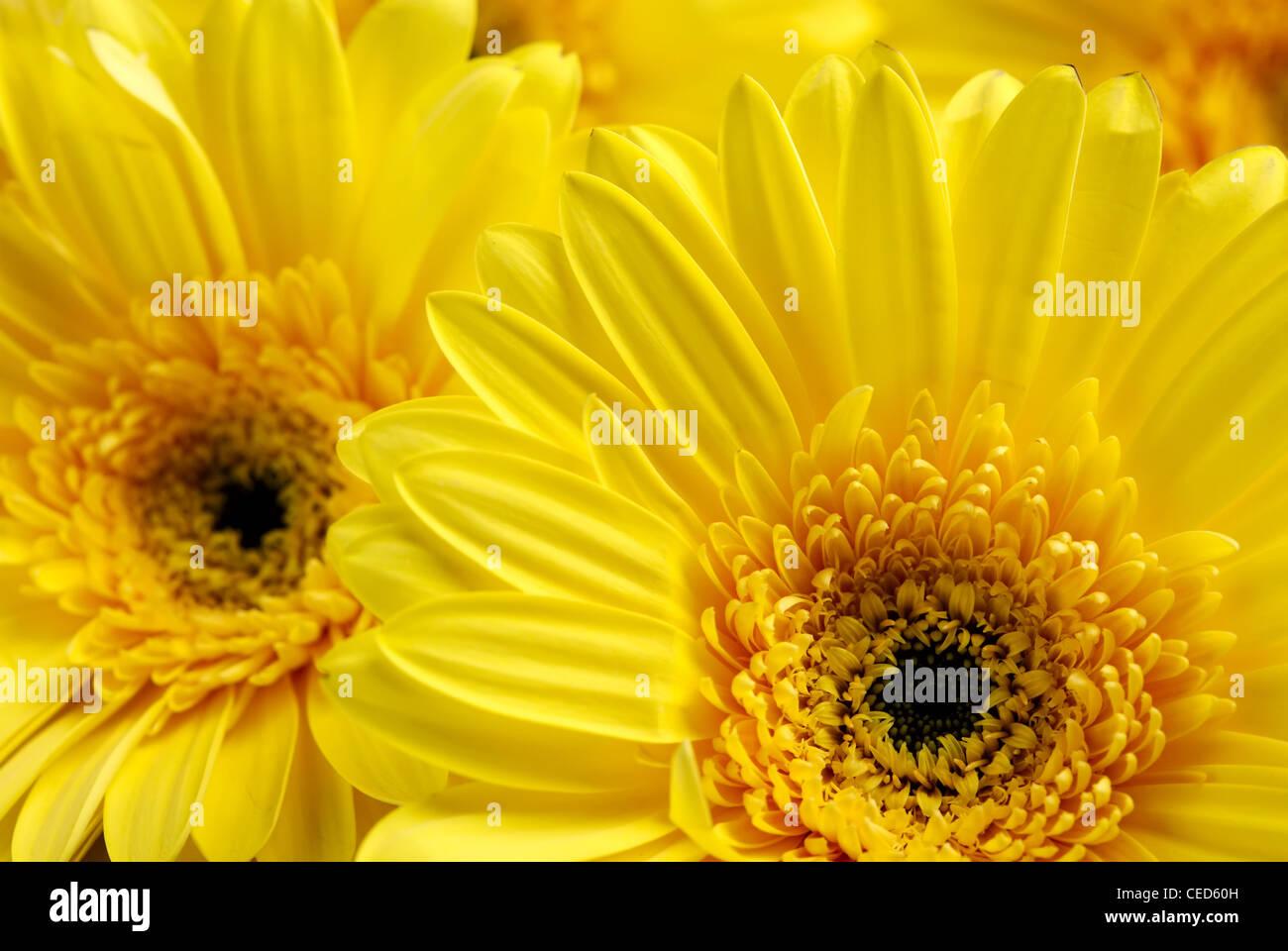 Flores amarillas antecedentes Foto de stock