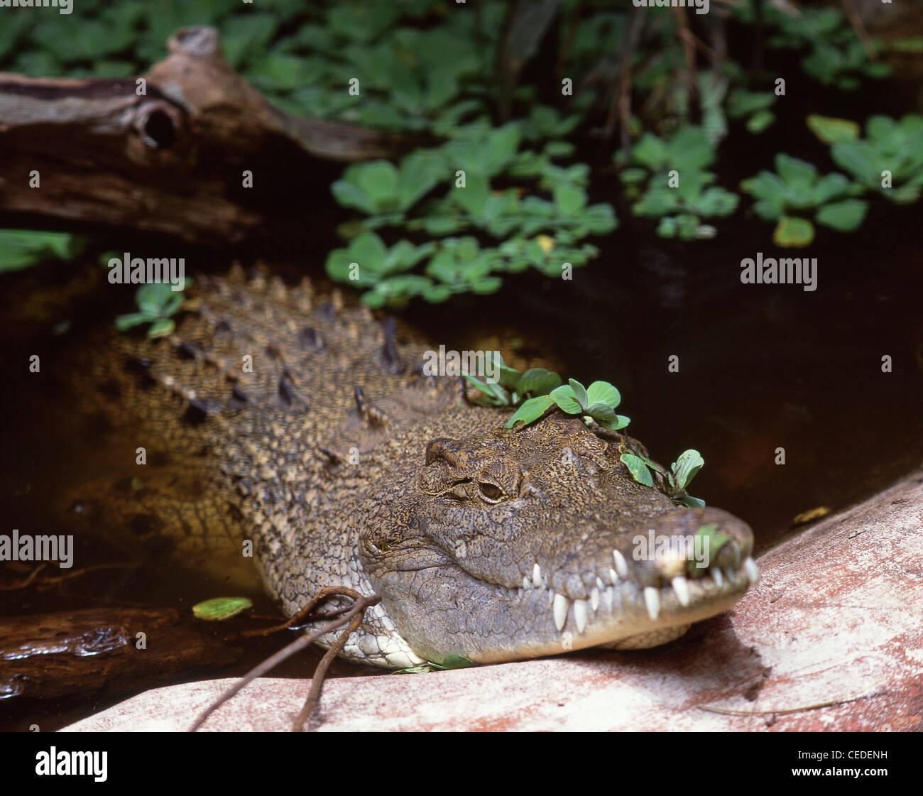El cocodrilo descansando, Green Island, Great Barrier Reef Marine Park, Queensland, Australia Foto de stock