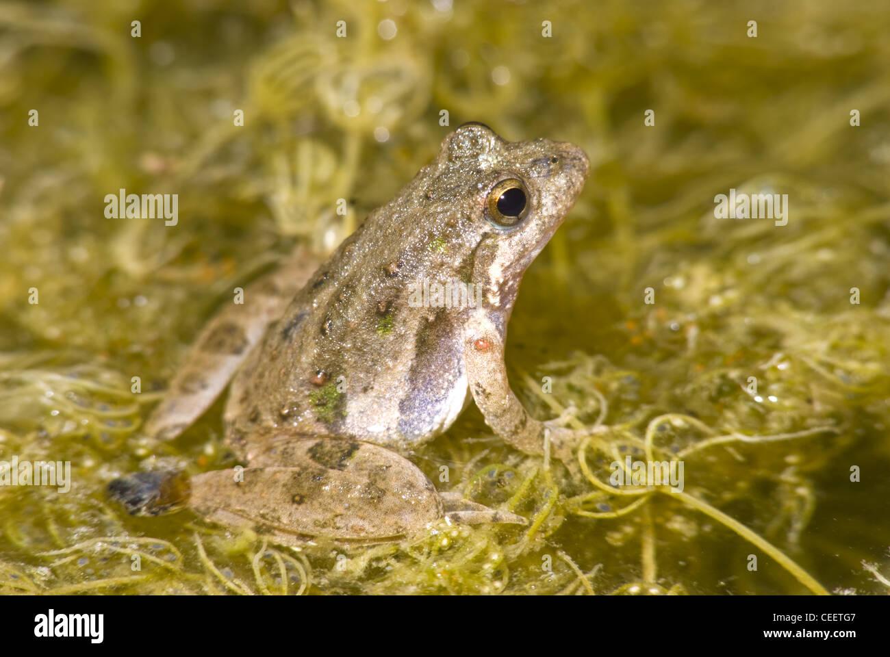 Blanchard's Cricket Rana (blanchardi Acris), LBJ praderas nacionales, Wise County, Texas, EE.UU. Foto de stock