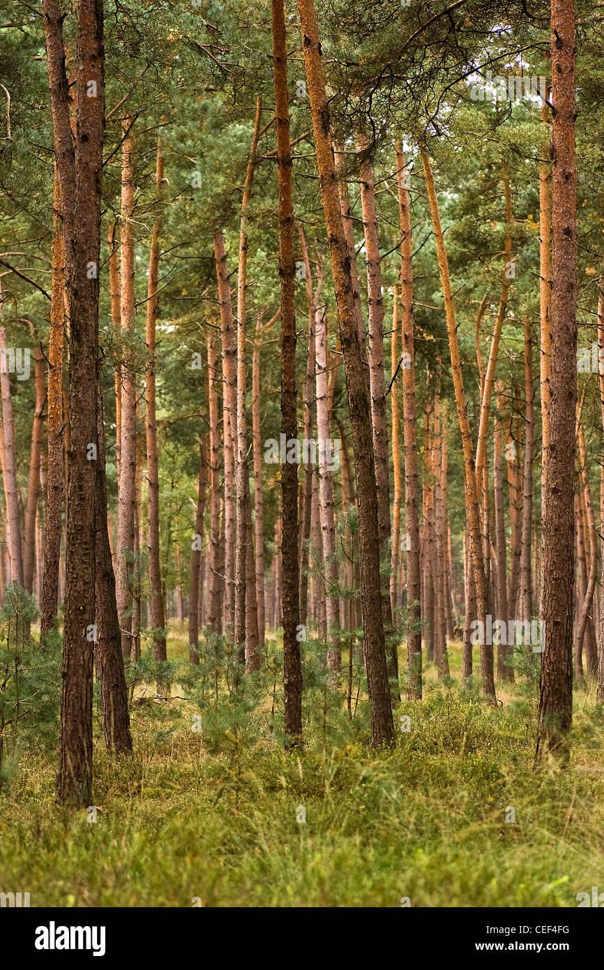 Bosque de pinos rectos y jóvenes plantados para madera en día soleado en verano Imagen De Stock