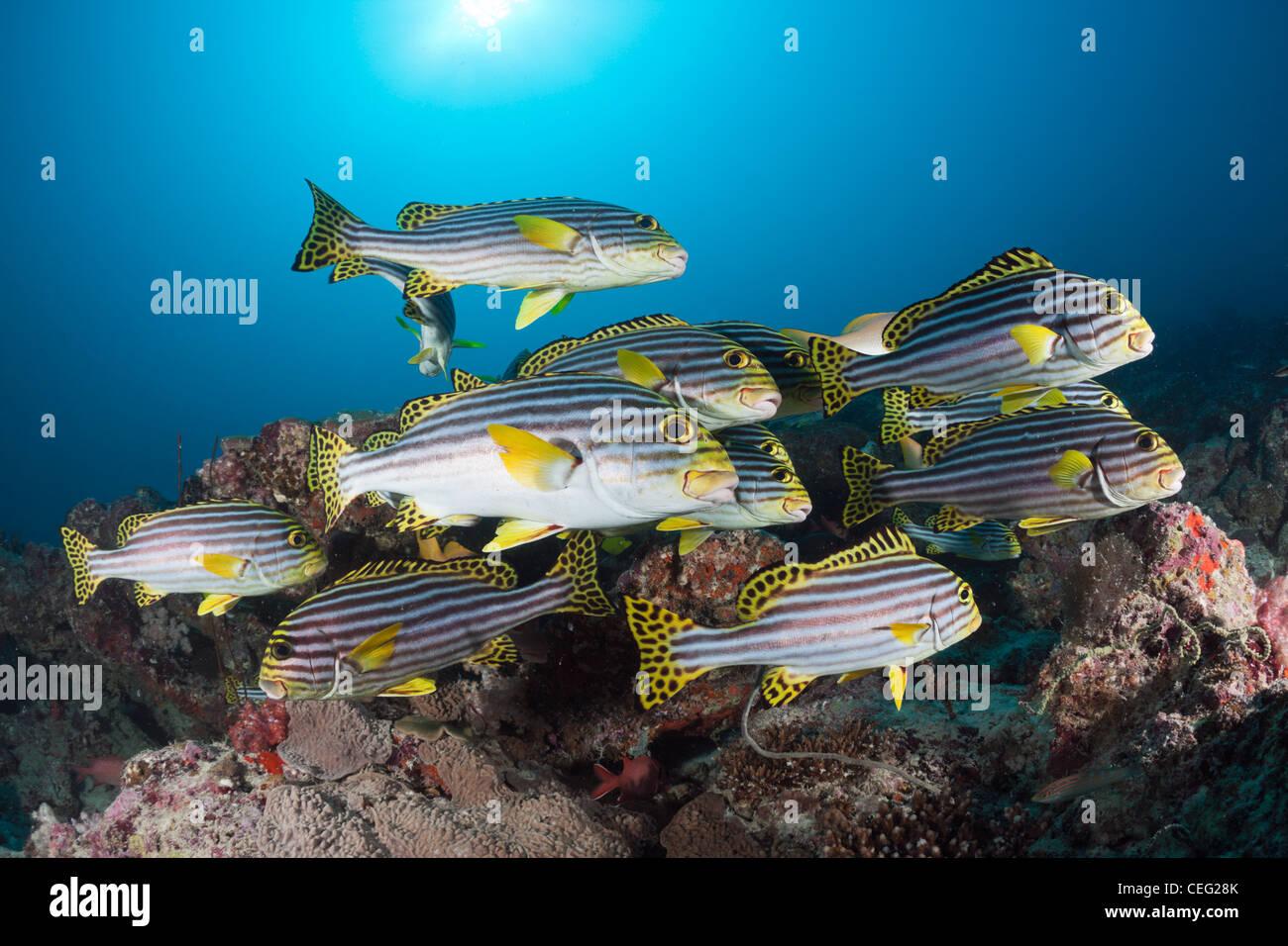 Cardumen de orientales, Sweetlips Plectorhinchus vittatus, North Male Atoll, Maldivas, Océano Índico Imagen De Stock