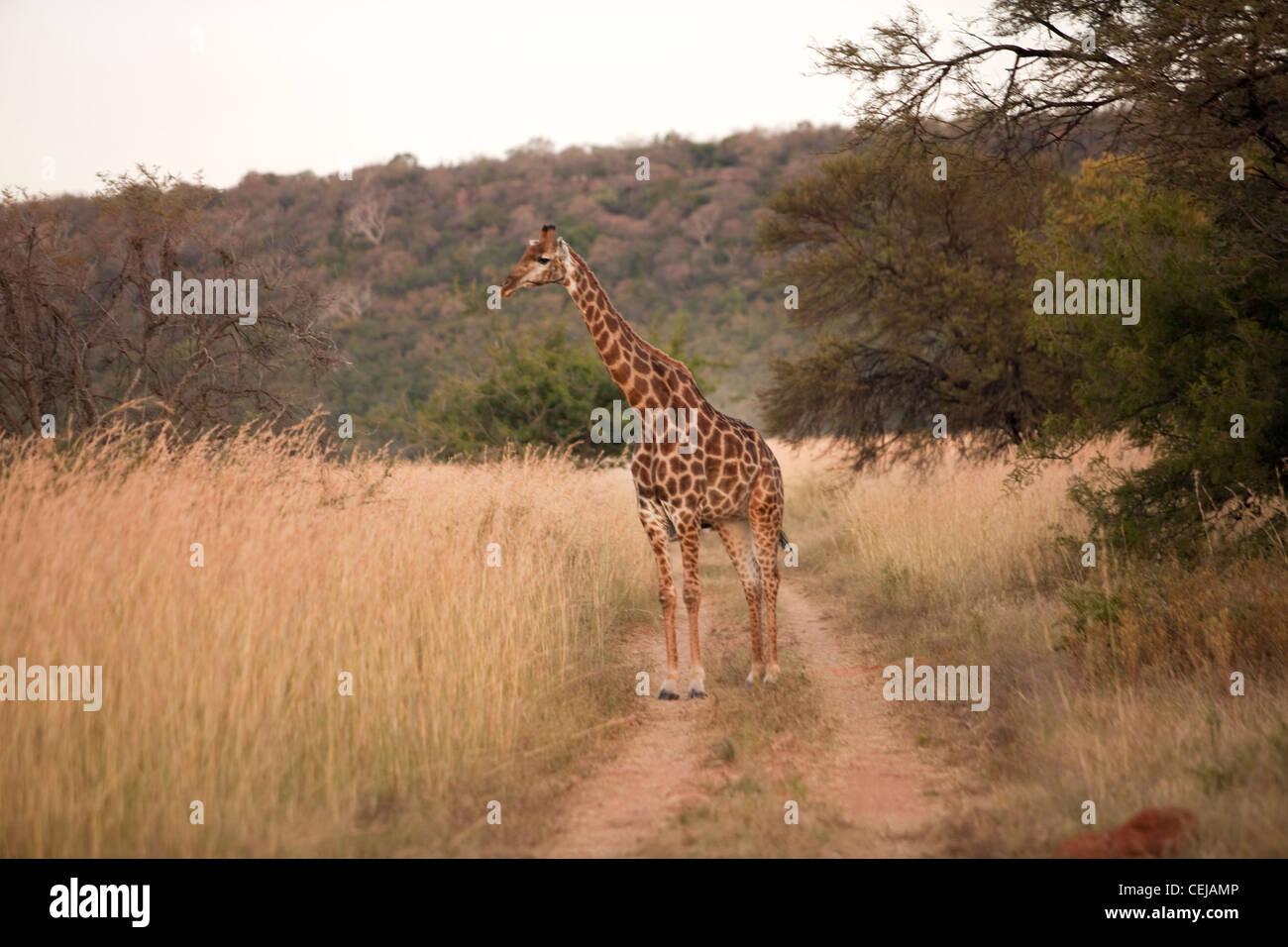 Jirafa,leyendas Reserva de Caza,Provincia de Limpopo Imagen De Stock
